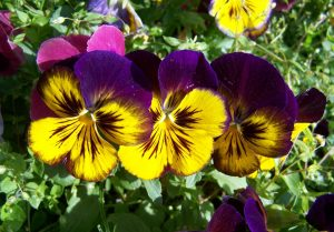 purple-and-yellow-pansy-1396595_960_720
