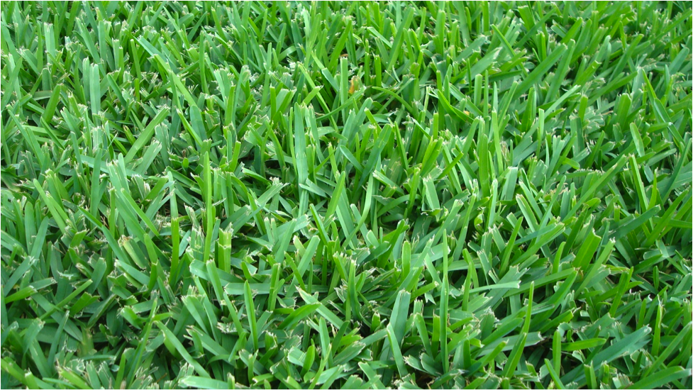 Why Choose St Augustine Grass For Your Next Sod Project